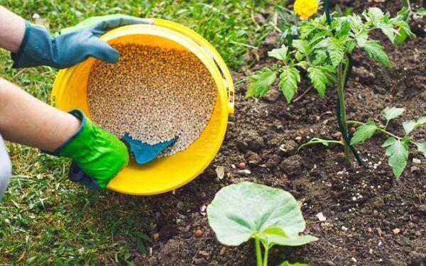 Nawożenie pomidorów - kiedy i czym nawozić